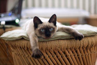 Сиамская кошка (Siamese cat)