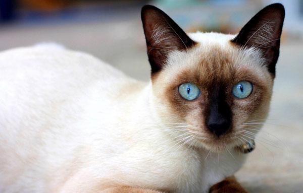 сиамский котенок 3
